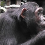 Clay as mineral supplement – Even Chimpanzees know it!
