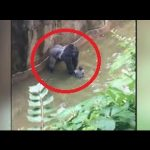 Whose fault? Gorilla shot dead to save a child who fell into the Exhibit