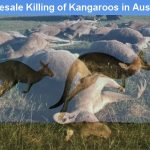 Who allowed wholesale killing of Australia's iconic animals, Kangaroos?