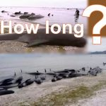 What caused the deaths of hundreds of Whales in New Zealand?